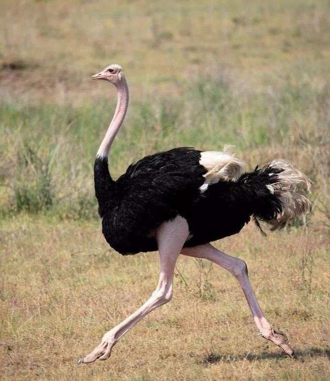 好消息,农业农村部发布《国家畜禽遗传资源目录》征求意见稿,鸵鸟被划为特禽